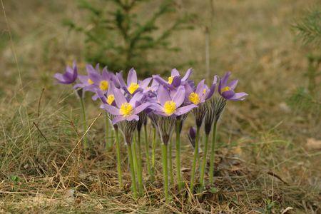 Pasqueflowers  photo