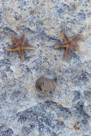 Two starfish and seashell arranged in face-like composition  photo