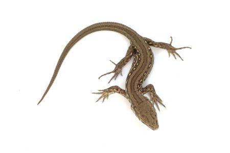 view from the back on one of the most common lizard