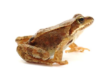 Young grass frog prepared to jump  photo