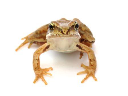 Young grass frog - Rana temporaria  photo