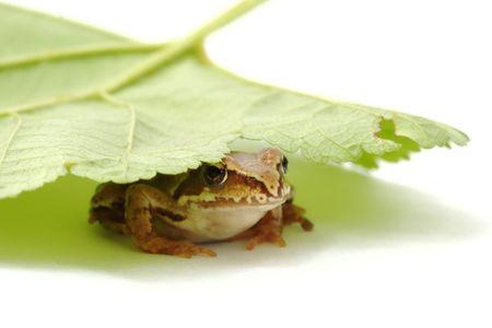mall frog Rana temporaria hiding under the leaf  photo