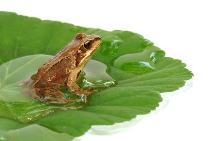 small frog Rana temporaria sitting on the leaf