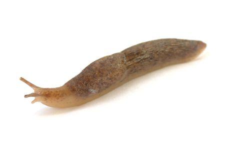 lesma: Slug