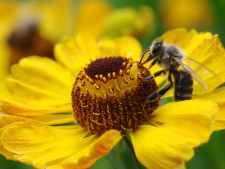 Bee collecting nectar on yellow daisy flower