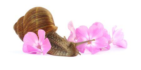 grape snail moving throw phlox flowers   Stock Photo - 3476147