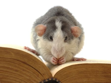domestic rat sitting on opened ancient book  photo