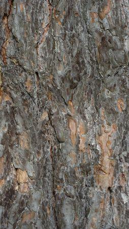woodsy: Pinus sylvestris tree crust background