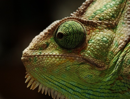 reptiles: portrait of Veiled chameleon on black background