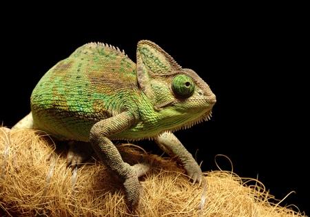 herpetology: Veiled chameleon on black background Stock Photo