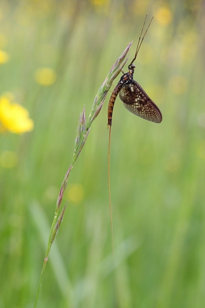 imago: one-day lifespan mayfly adult imago