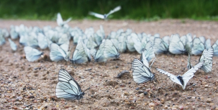 imago: a big group of Black-veined White butterflies   Aporia crataegi  drinking water on the road  2012 was the year of extraordinary population burst of this species in central Russia   Stock Photo