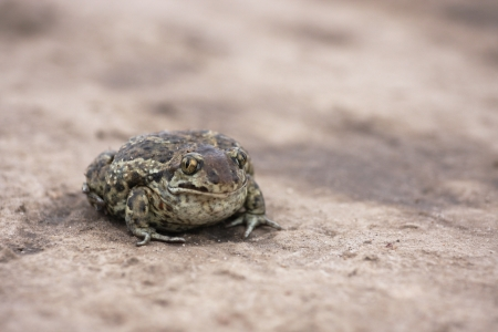 The toad Bufo Bufo on the ground photo