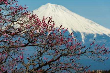Chinese plum flower and Mountain Fuji in spring season in landscape orientation