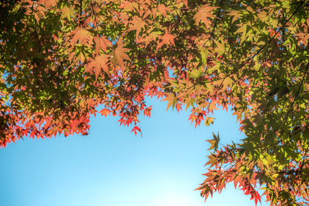 Colorful Maple leaves in Japan