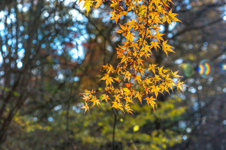 Yellow Maple leaves in Japan Stock Photo