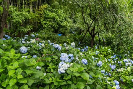 A forest of Hydrangea in Kanto area, Japan