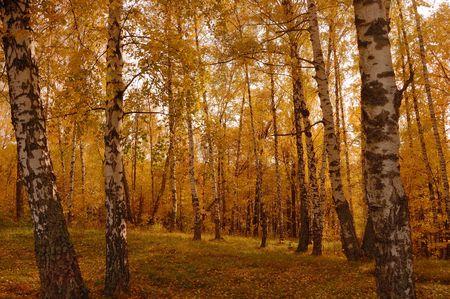 Autumn birch wood Stock Photo