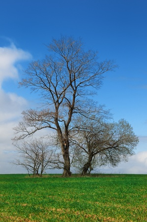 Spring landscape, green field lonely tree and the blue sky photo
