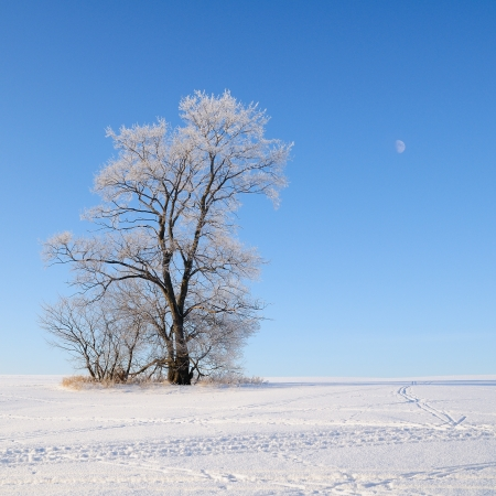 Alone frozen tree in snowy field Stock Photo - 17194779