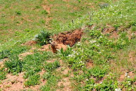 sizzle: Marmot near the burrow. Reserve in Mari El, Russia.