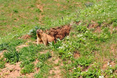 Marmot near the burrow. Reserve in Mari El, Russia.