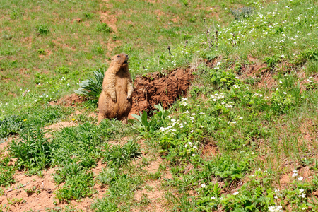 sizzle: Marmot near the burrow. Reserve in Mari El, Russia.