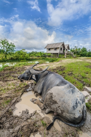 major force: Livestock farmer in Thailand or Asia Animals are a major force in the rainy season And abstain from the farm  I will let the mule live naturally as possible