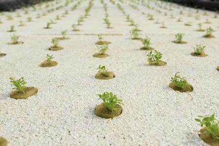 mini farm: Young organic vegetable is grown in foam.