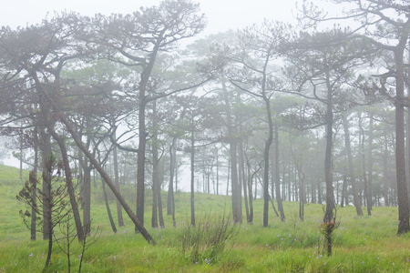 unclear: Pine forest with white fog.