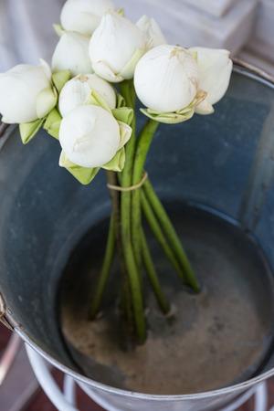 aluminium: White lotus in aluminium bucket