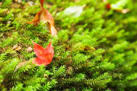 helechos: arce rojo con los helechos verdes