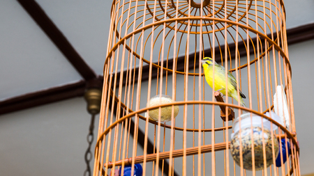 Close up of yellow bird in wooden asia style cage