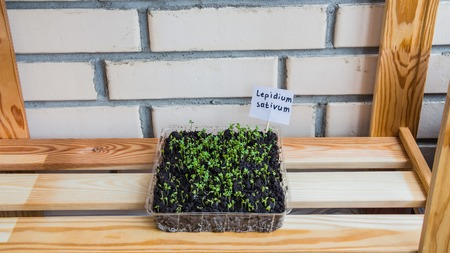 Lettuce sprouts grow indoors on the windowsill. Daylight illumination. Mini garden. Reklamní fotografie