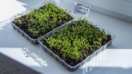 Seedlings grow indoors on the windowsill.. Clear sunny day. Organic plant growing.