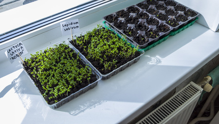 Seedlings of lettuce growing indoors. Clear sunny day. Organic plant growing. Reklamní fotografie