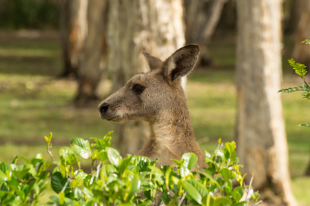 peaking: Kangaroo Peaking Over The Bushes Stock Photo