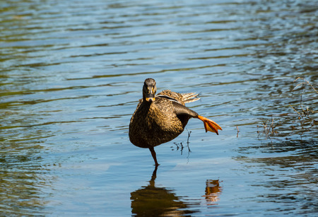 female mallard duck: Female Mallard Duck  Stretching Leg