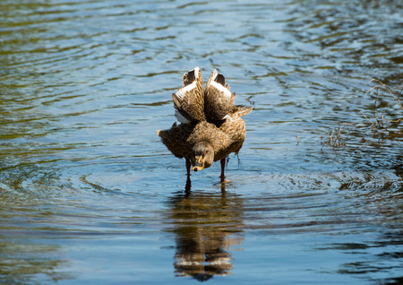 female mallard duck: Female Mallard Duck Shaking feathers