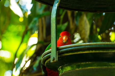 Male Australian King-Parrot
