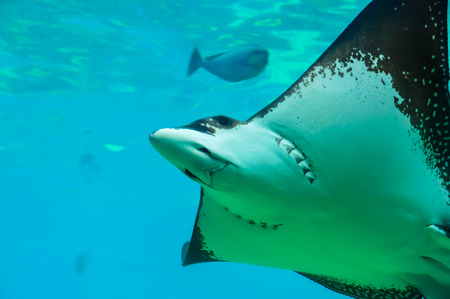 spotted ray: White Spotted Eagle Ray Stock Photo