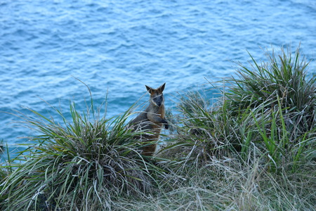 wallaby: Rock Wallaby Stock Photo
