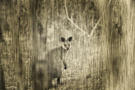 wallaby: Swamp Wallaby
