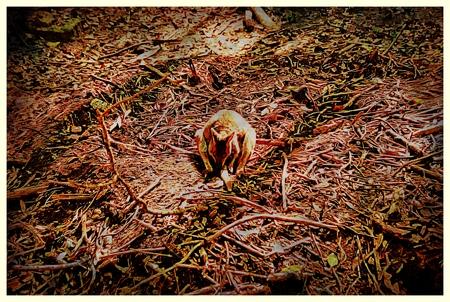 legged: Female Red Legged Pademelon Getting Ready For Birth