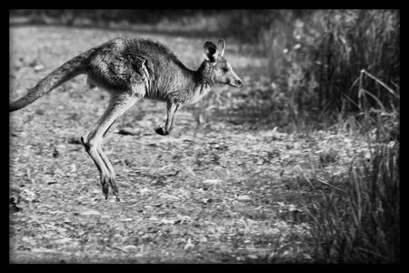 joey: Eastern Grey Kangaroo Joey Hopping Stock Photo