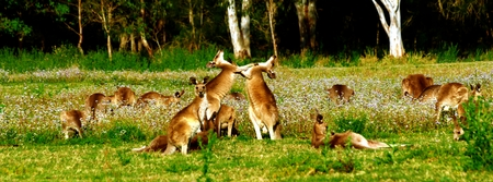 animal pouch: Eastern Grey Kangaroos Playing Stock Photo