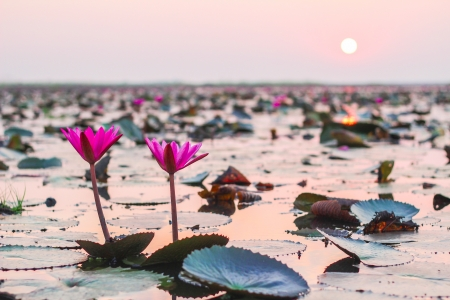 Lotus field Lake of Udonthanee Thailand on Sunset at moring