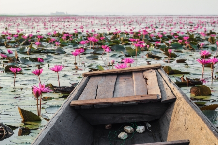 Boat local flow on Lotus field Lake frist large in Udonthanee  of Thailand photo