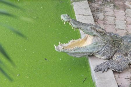 Crocodile Stock Photo - 25424494