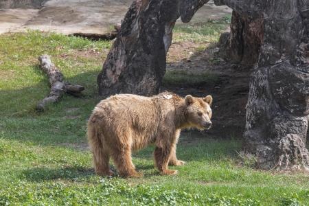 alaskan bear: Bronw bear in Zoo Stock Photo